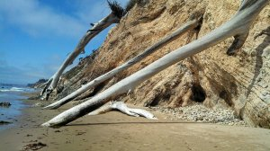 SB - Douglass beach trees