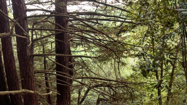 Redwoods in Redwood Regional Park