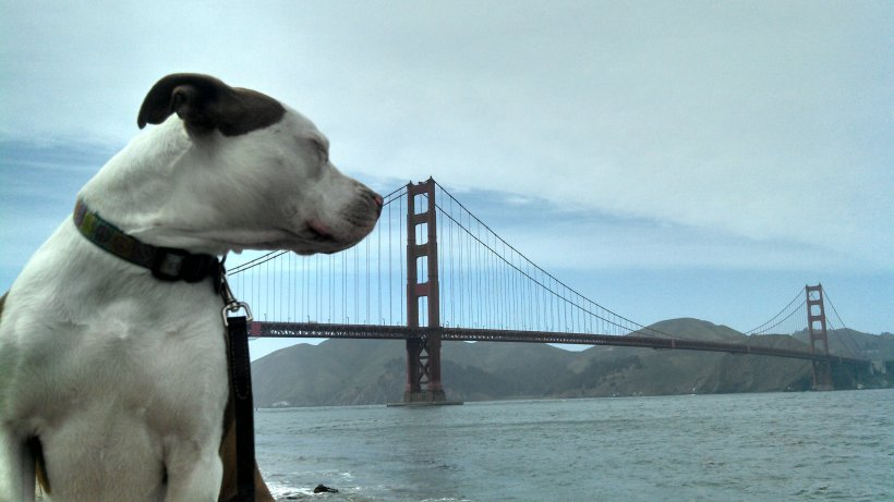 Ruby meeting the Golden Gate Bridge (Crissy Field)
