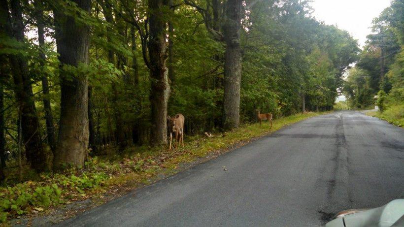 Durham - deer in road