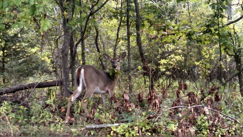 Durham - deer