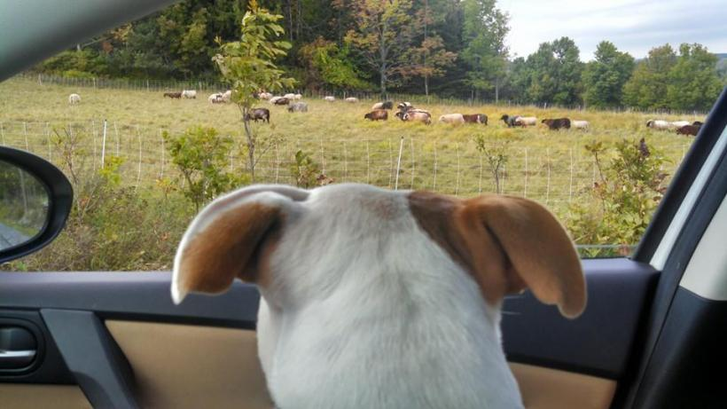 Durham - ruby looking at sheep